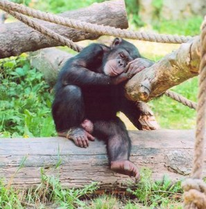 article-chimps-0410